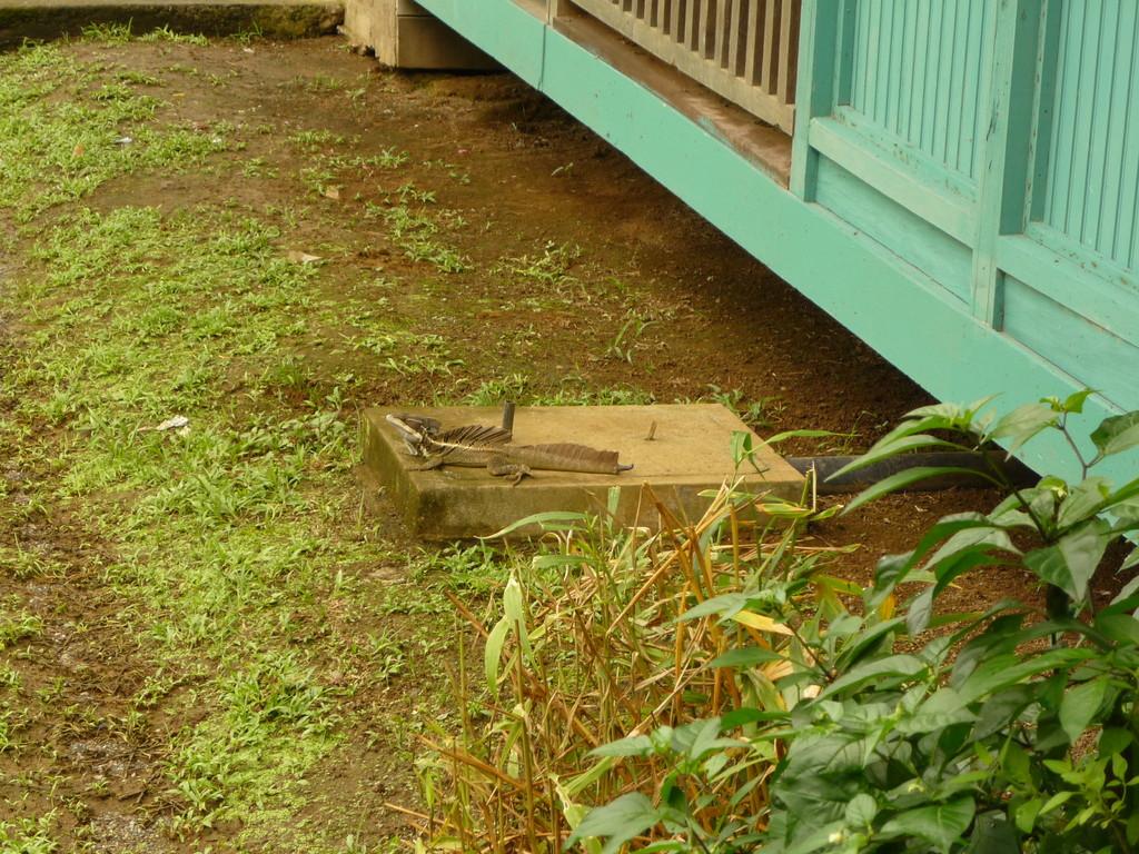 Der faszinierende Basilisk mit seinem zackigen Kamm