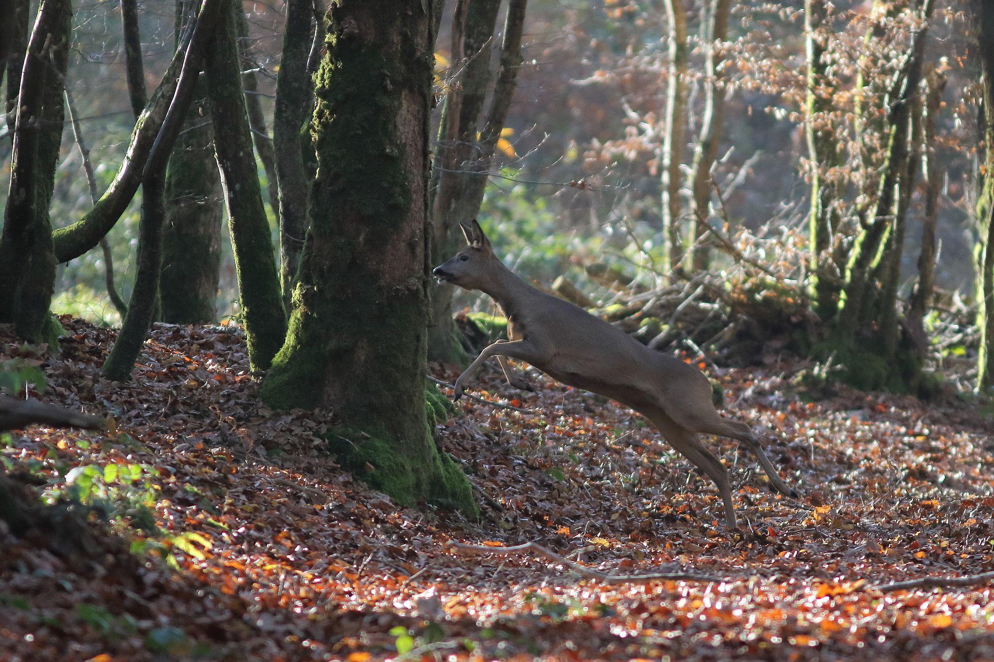Au détour d'un chemin creux, chevreuil gagnant le bois.