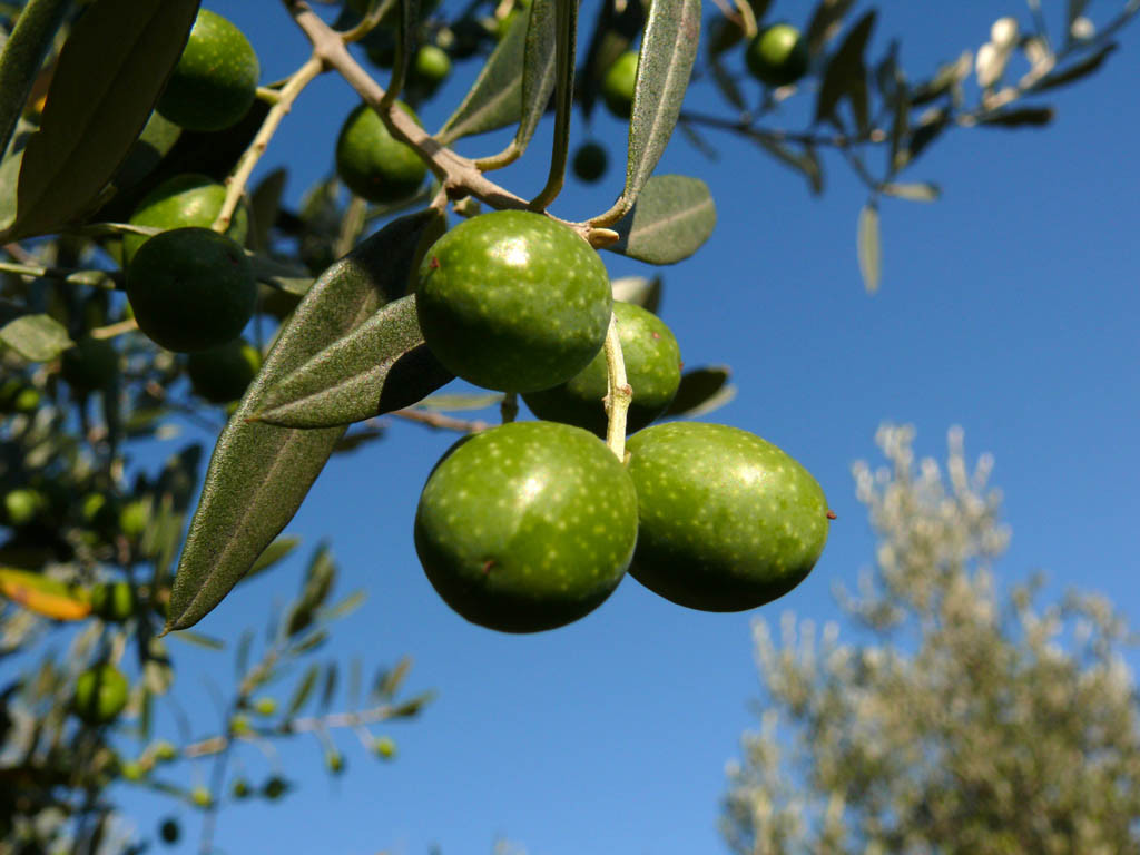 Оливковое масло способствует сохранению эластичности кожи, повышает ее упругость, питает и увлажняет. В нем содержится большое количество витаминов, таких как А, Е, B, D, K, которые оказывают на кожу очень благоприятное действие.