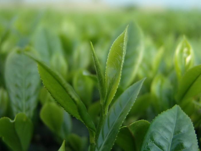 Зеленый чай содержит вещества, являющиеся природными антиоксидантами