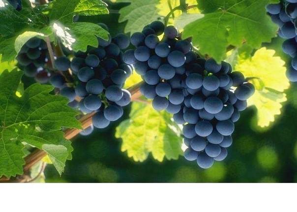 Масло виноградных косточек для лица может применяться, как и для очищения кожи, так и вместо увлажняющего крема.