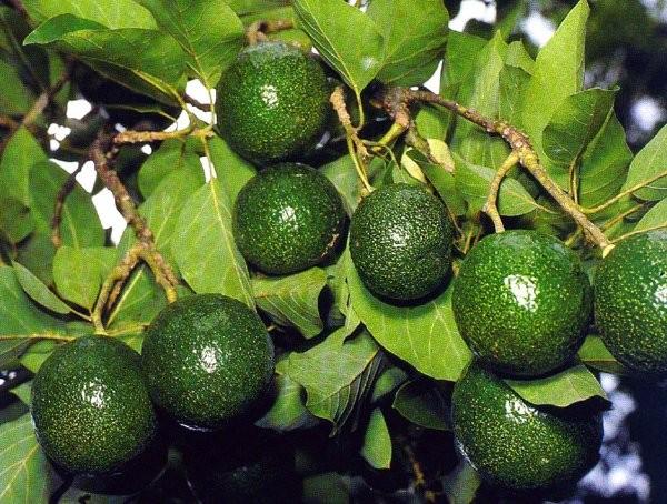 Масло авокадо, благодаря оптимальному сочетанию в нём витаминов В, D, Е, F оказывает положительное воздействие на сухую и шелушащуюся кожу, истончённые ногти, слабые волосы.
