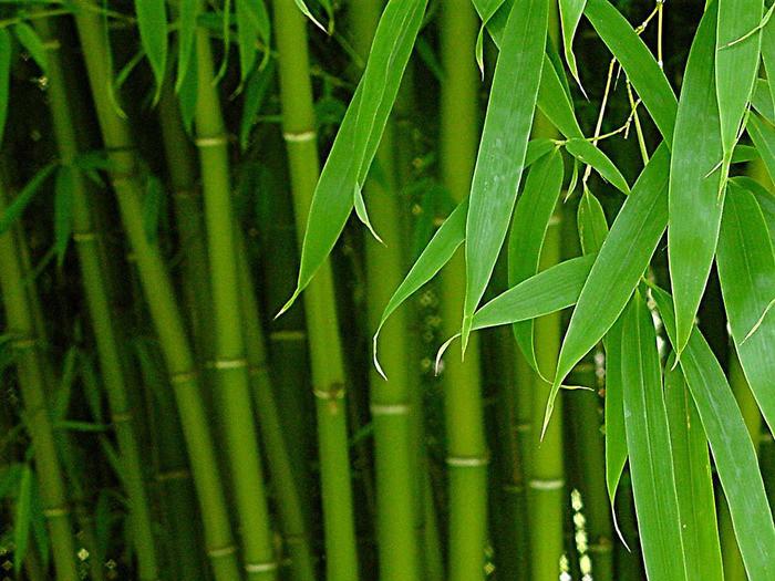 Сок бамбука считается прекрасным омолаживающим и очищающим средством