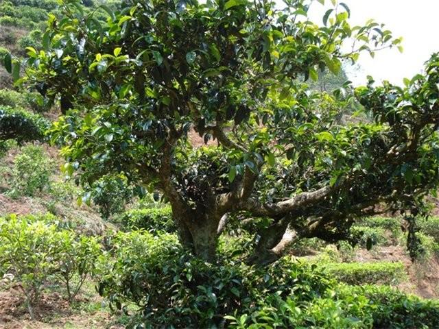Масло чайного дерева – это незаменимое средство для жирной/комбинированной кожи, склонной к различным высыпаниям.