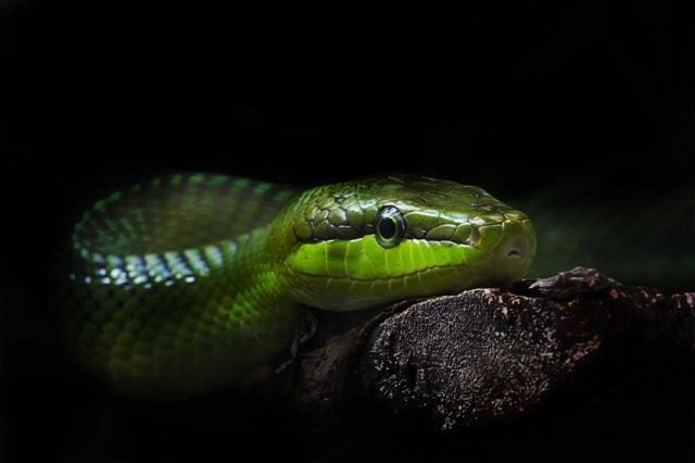 В косметологии змеиный жир чаще всего используют при создании кремов для огрубевшей кожи. Кремы для ступней ног на основе чистого змеиного жира не только смягчают кожу, но и устраняют воспалительные процессы
