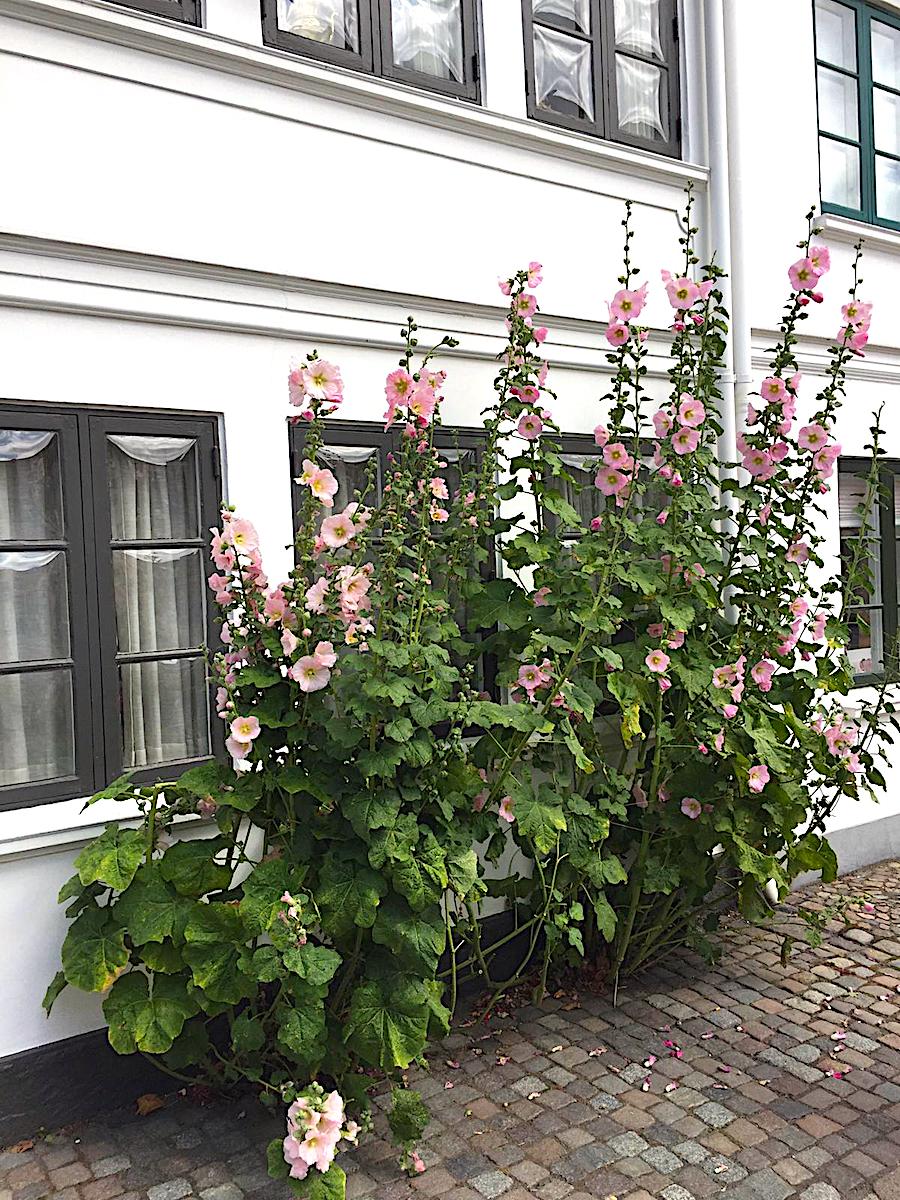 Stockrosen in Odense