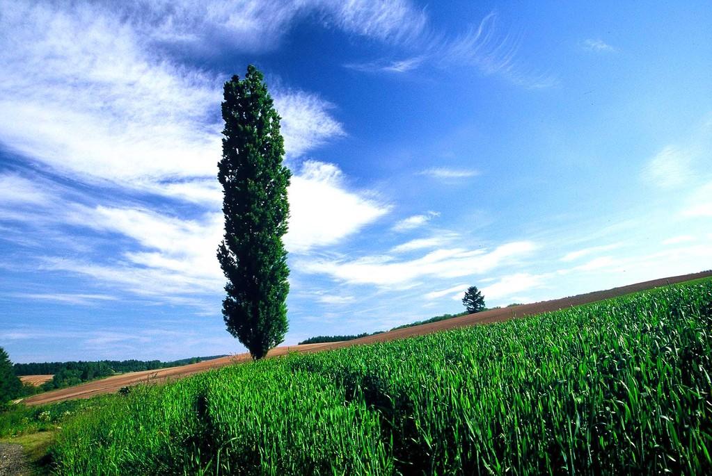 北海道美瑛町 新緑燃えるポプラの木