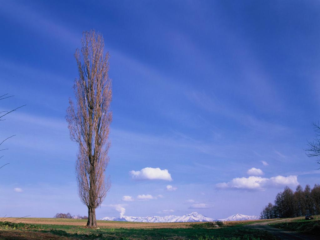 北海道美瑛町 春まだ浅いポプラの木