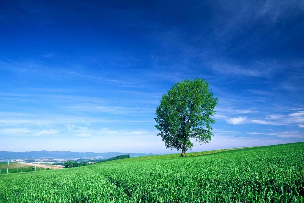 北海道美瑛町 新緑輝く哲学の木