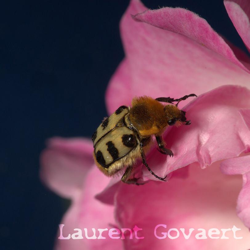 Trichius rosaceus