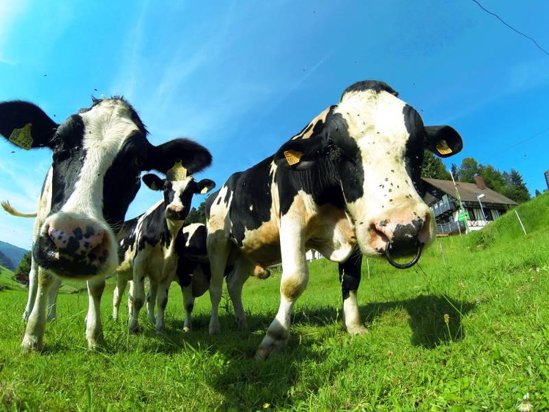 Die Kühe grasen auf der Wiese direkt unter dem Ferhienhaus