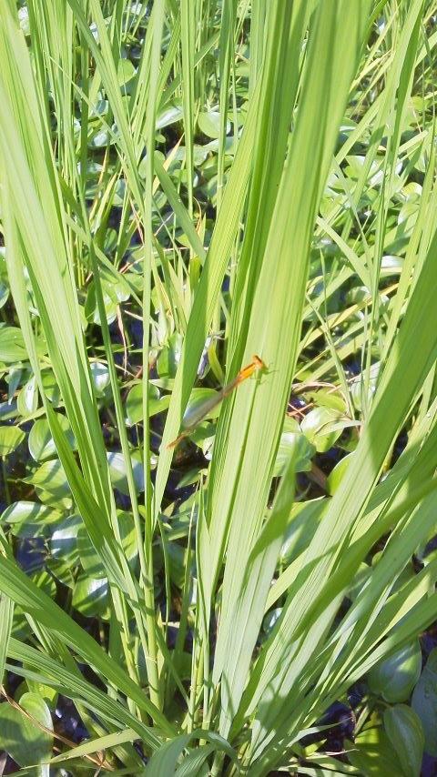 糸とんぼ (黄色、青、緑、黒など色々な種類がいます)