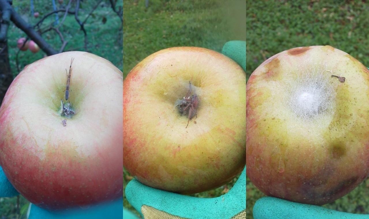なんとリンゴのお尻にクモの巣が!