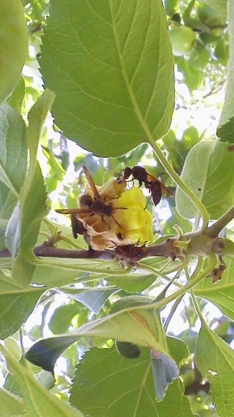アシナガバチの巣。エサが豊富なので住処に決めたようです(;^_^A