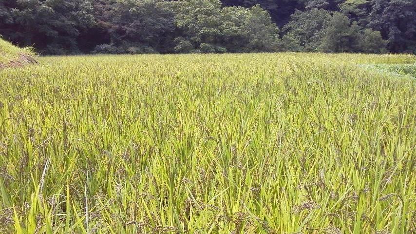 黒もち米の黒い穂です。