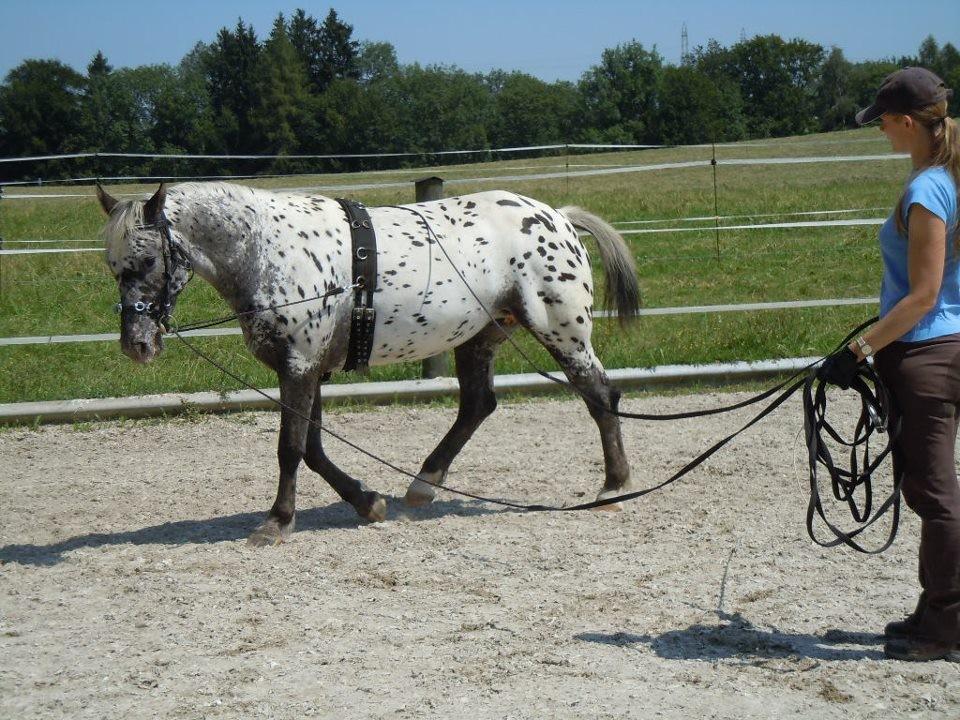 Doppellonge mit jungem Pferd