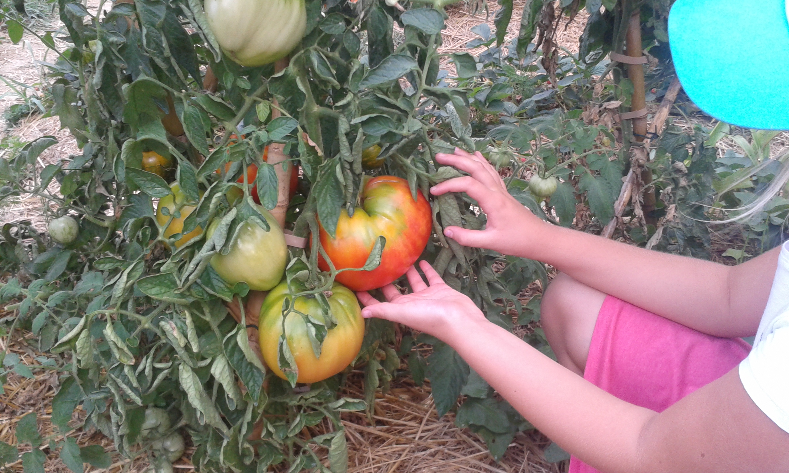 tomate ananas bleue sur paillis BRF
