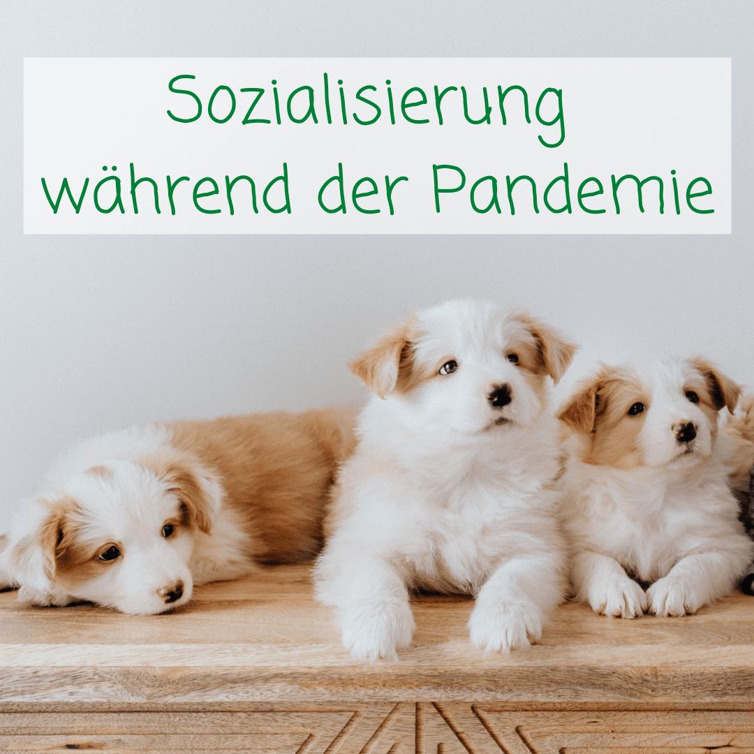 Hunde-Sozialisierung während der Pandemie: Wie der Gassi-Service helfen kann