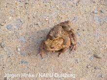 Erdkröten im Duisburger Süden
