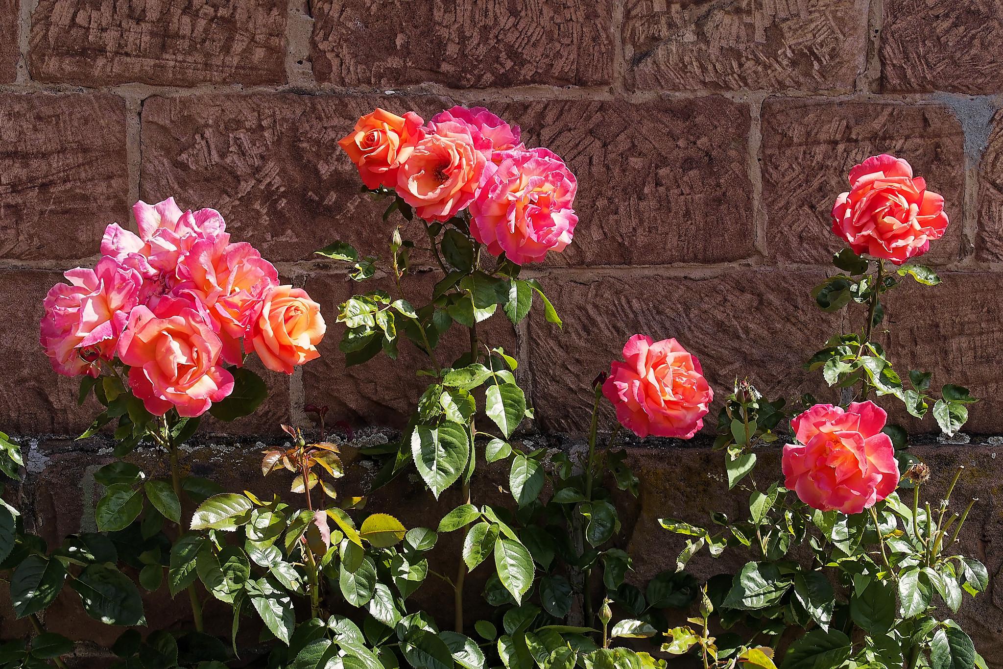 Sandstein und Rosen