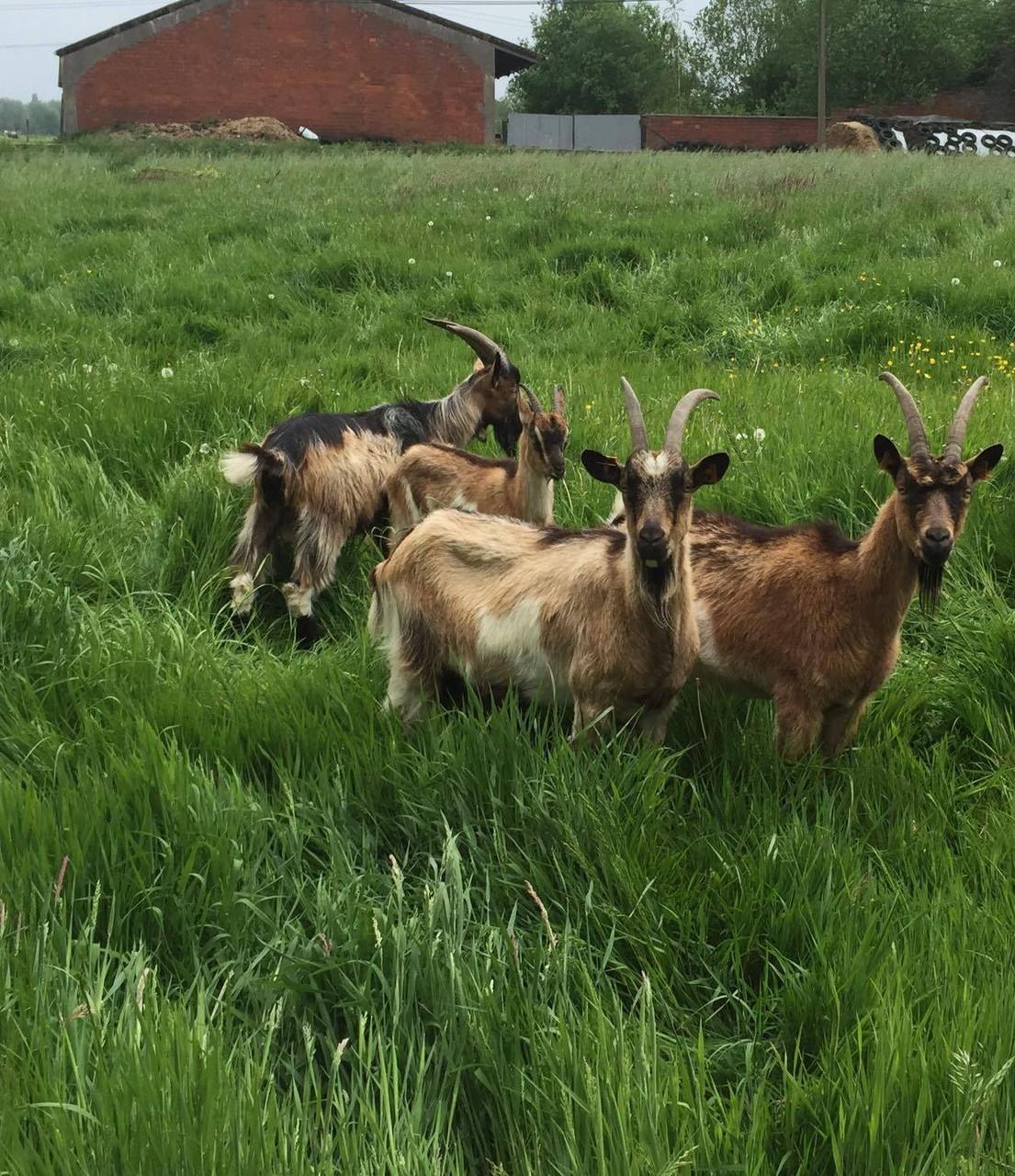 Vlaamse geit - Illys , Found en Leon