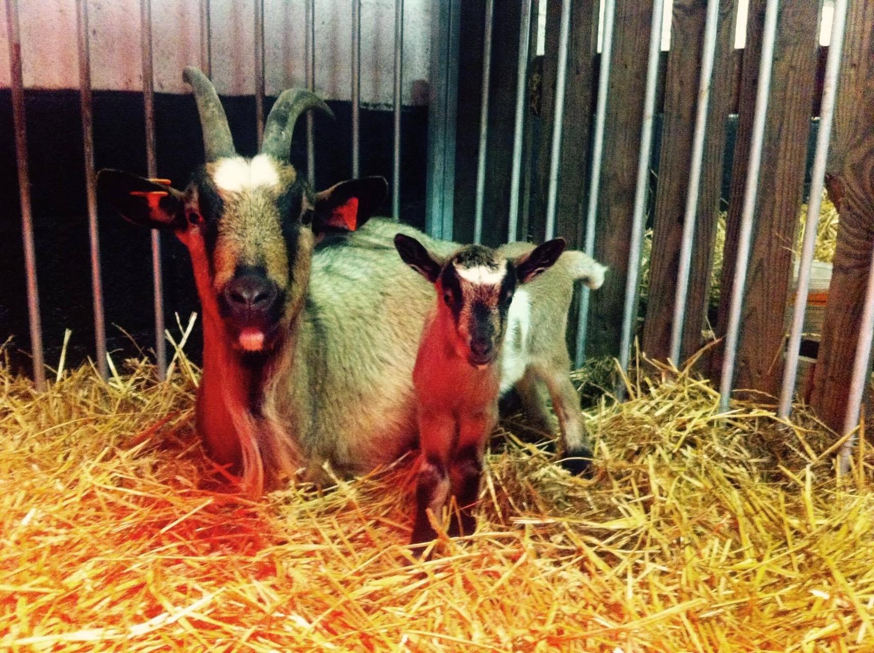 Vlaamse geit - Illys met dochter Nala