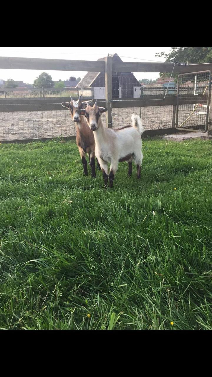 Vlaamse geit - Mimi en Melanie