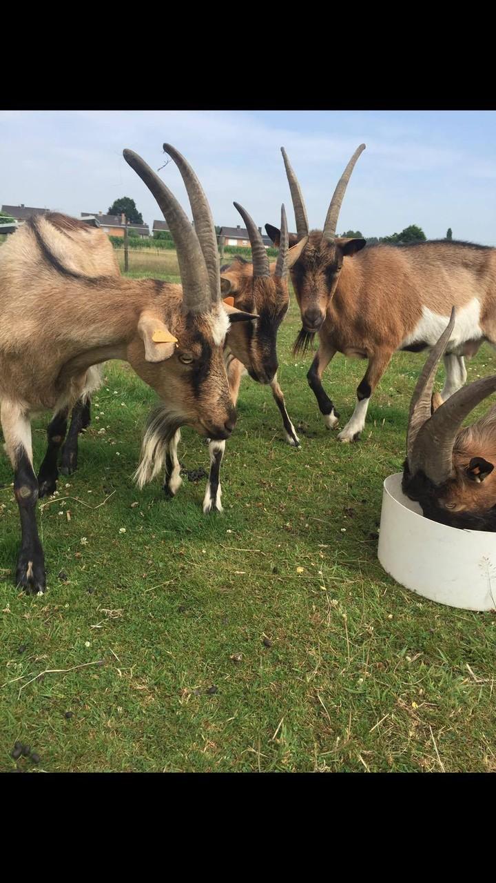 Vlaamse geit - De kudde in de lente