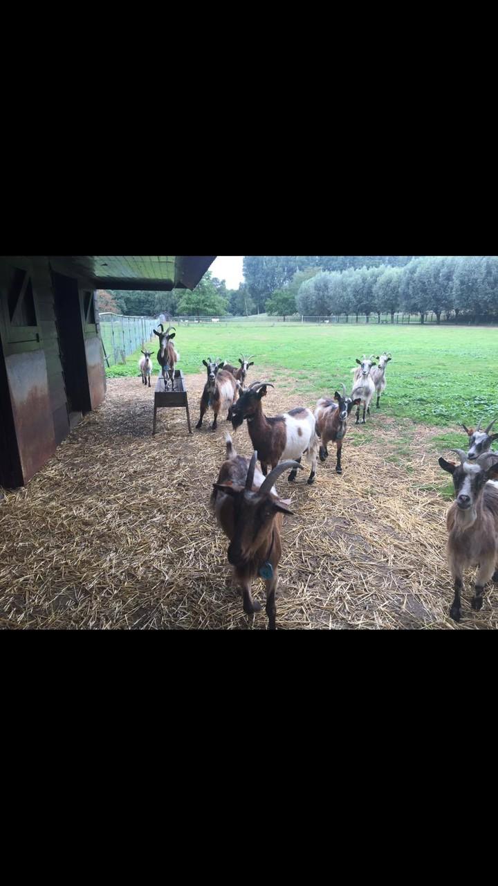 Vlaamse geiten in Puyenbroeck