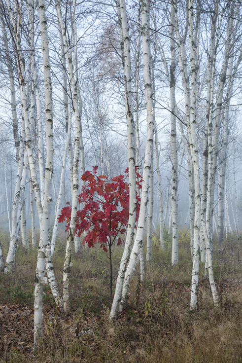 Red Oak in Birch Grove, Kivi Park, Sudbury 16 x 24 photograph