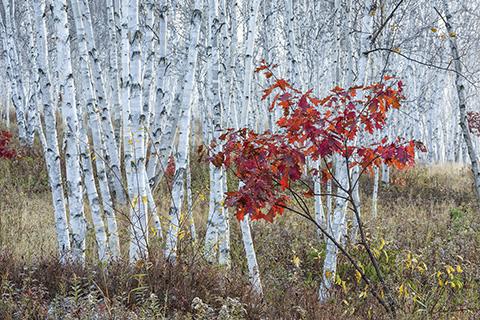 Red Maple in Birch Grove - Kivi Park, Sudbury