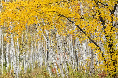 Autumn Maple in Birch Grove - Kivi Park, Sudbury photograph 18 x 27 Metal glossy