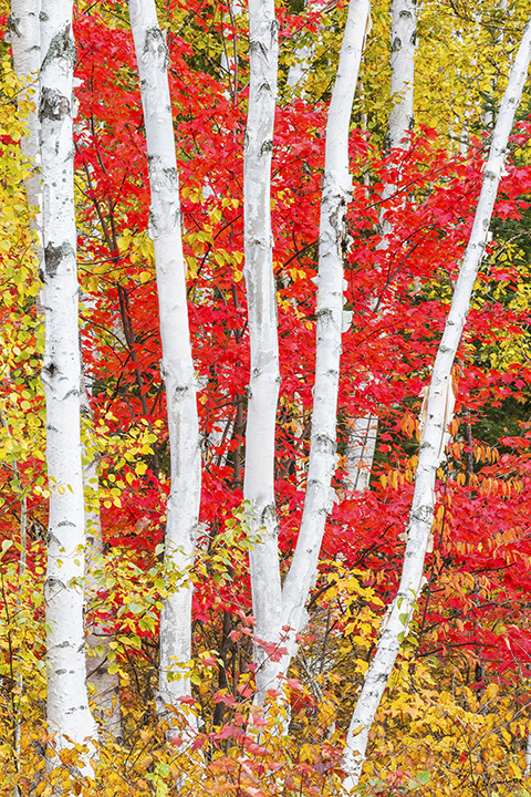 Birches and Red Maples - Sudbury 20 x 30 photograph Metal glossy