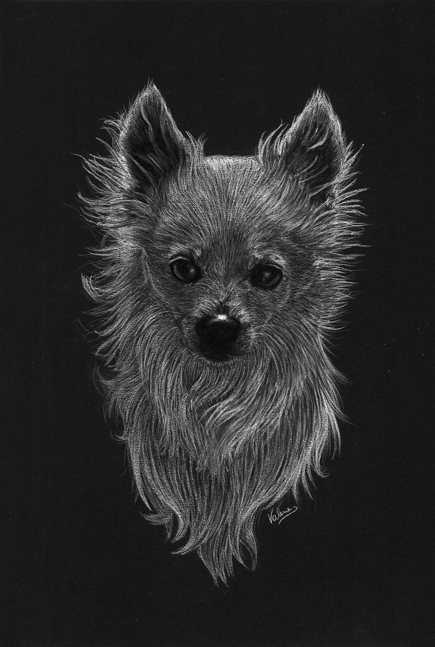 Dierenportret chihuahua: Wit potlood en houtskool op zwart papier (2015)