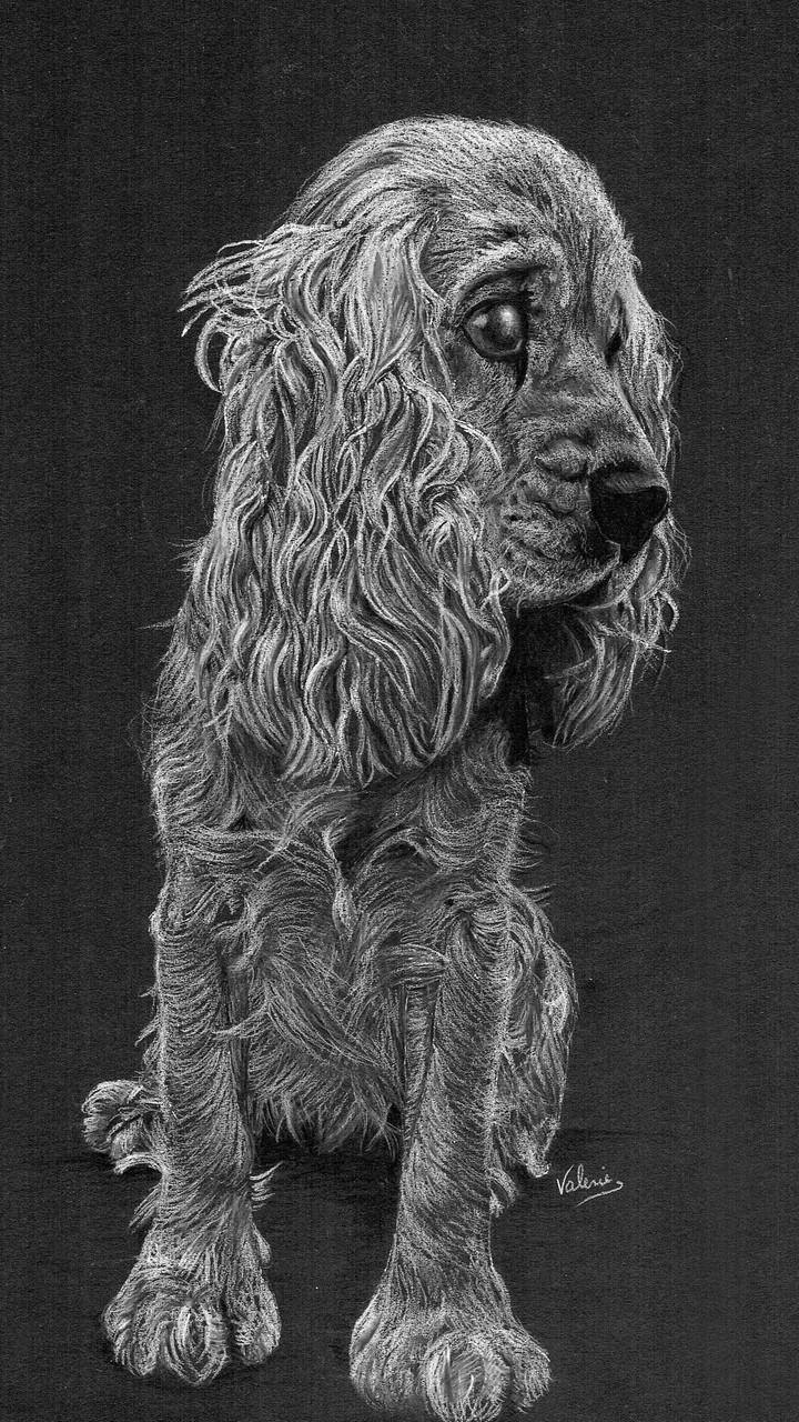 Dierenportret cocker spaniel: Wit potlood op zwart papier (2015)