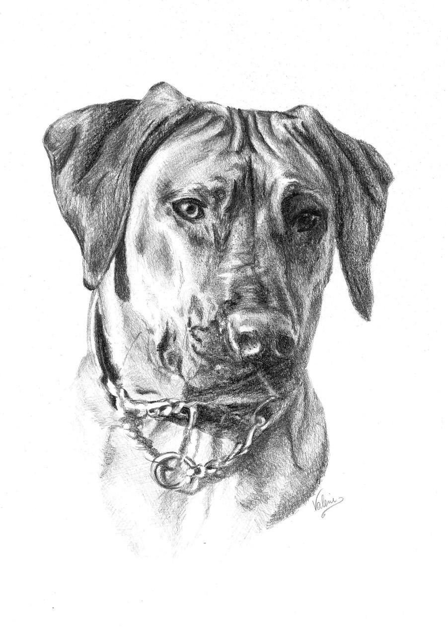 Dierenportret hond: Tekenpotlood en houtskool op wit papier (2015)