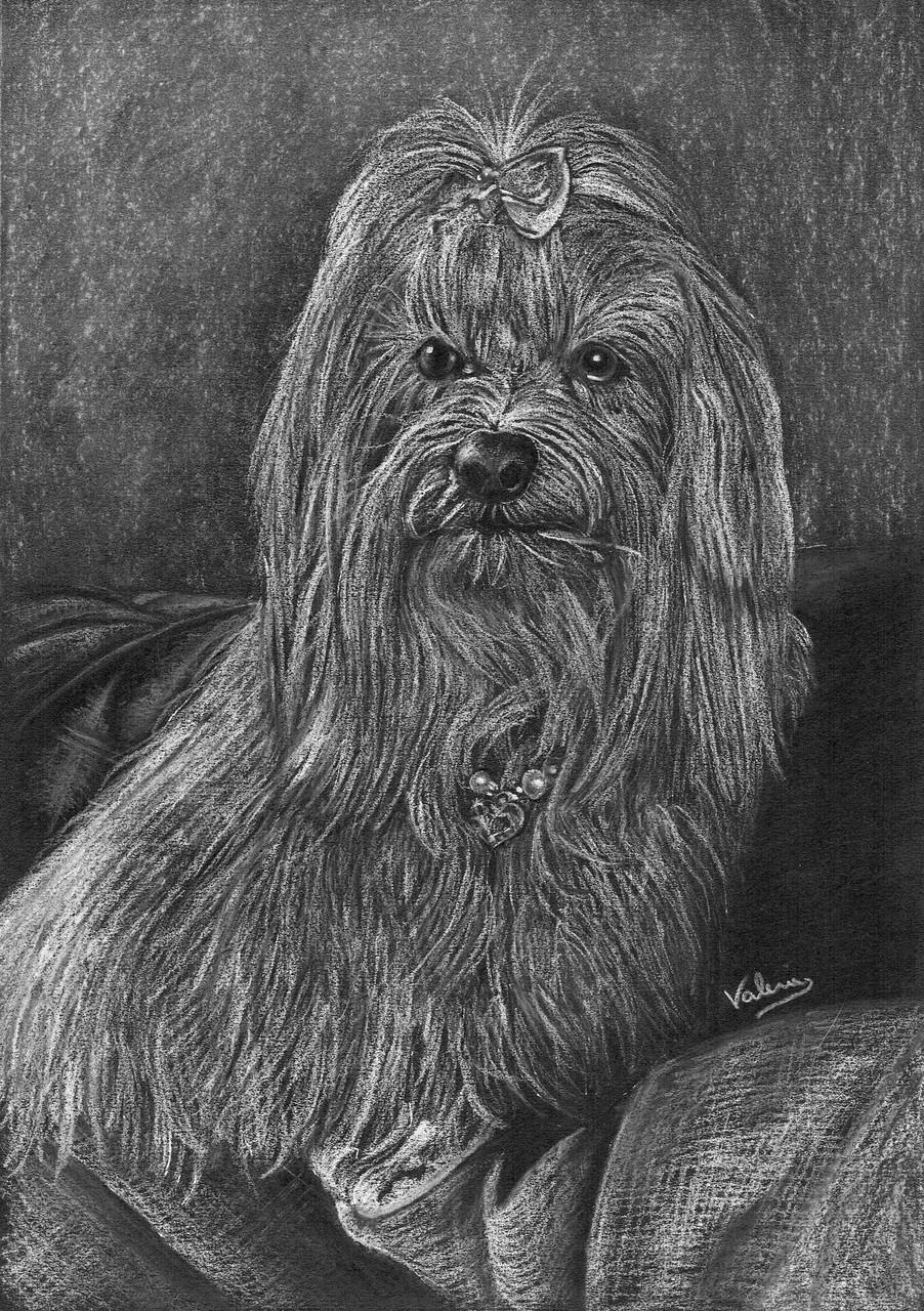 Dierenportret maltezer: Wit potlood en houtskool op zwart papier (2015)
