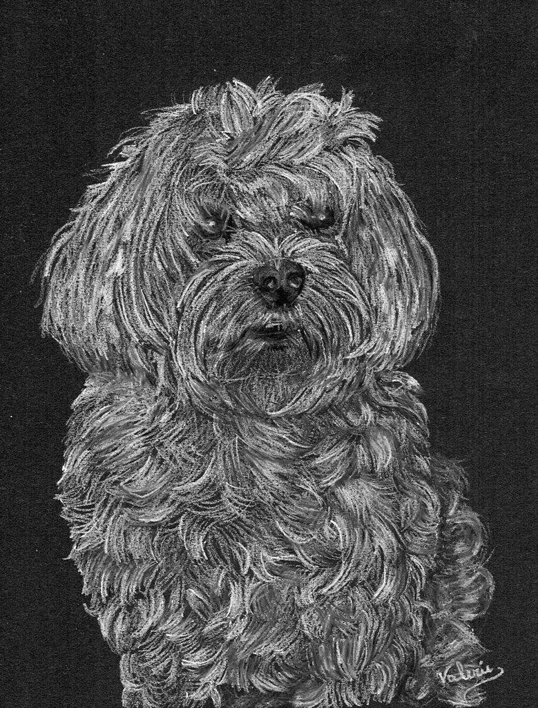 Dierenportret maltezer: Wit potlood op zwart papier (2016)