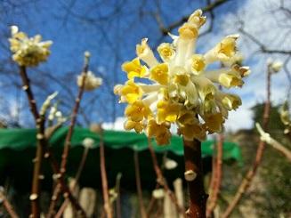 Der japanische Papierstrauch ist sehr gut winterhart, wenn er schon in jungen Jahren abgehärtet wurde. Die Blüten duften wie ein Parfume.