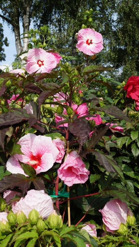 Gärtner werden einander erkennen, denn sie wissen, dass jede Pflanze die Geschichte der ganzen Erde-Roseneibisch-staudenhibiskus-Riesen-Hibiskus-Gärtnerei Bartels-Delmenhorst
