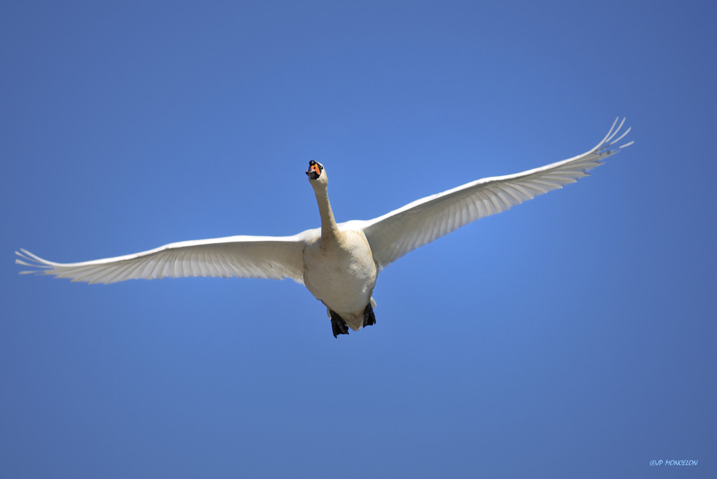 _DSC9764-Cygne tuberculé-Cygnus olor - Mute Swan