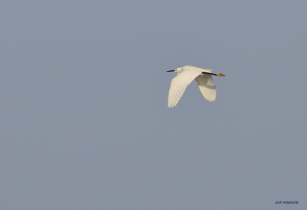 _DSC1343 Aigrette garzette-Egretta garzetta - Little Egret