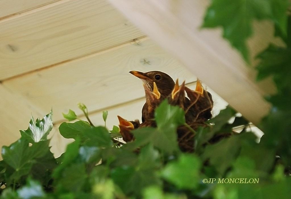 DSC_2307-Merle noir-Turdus merula