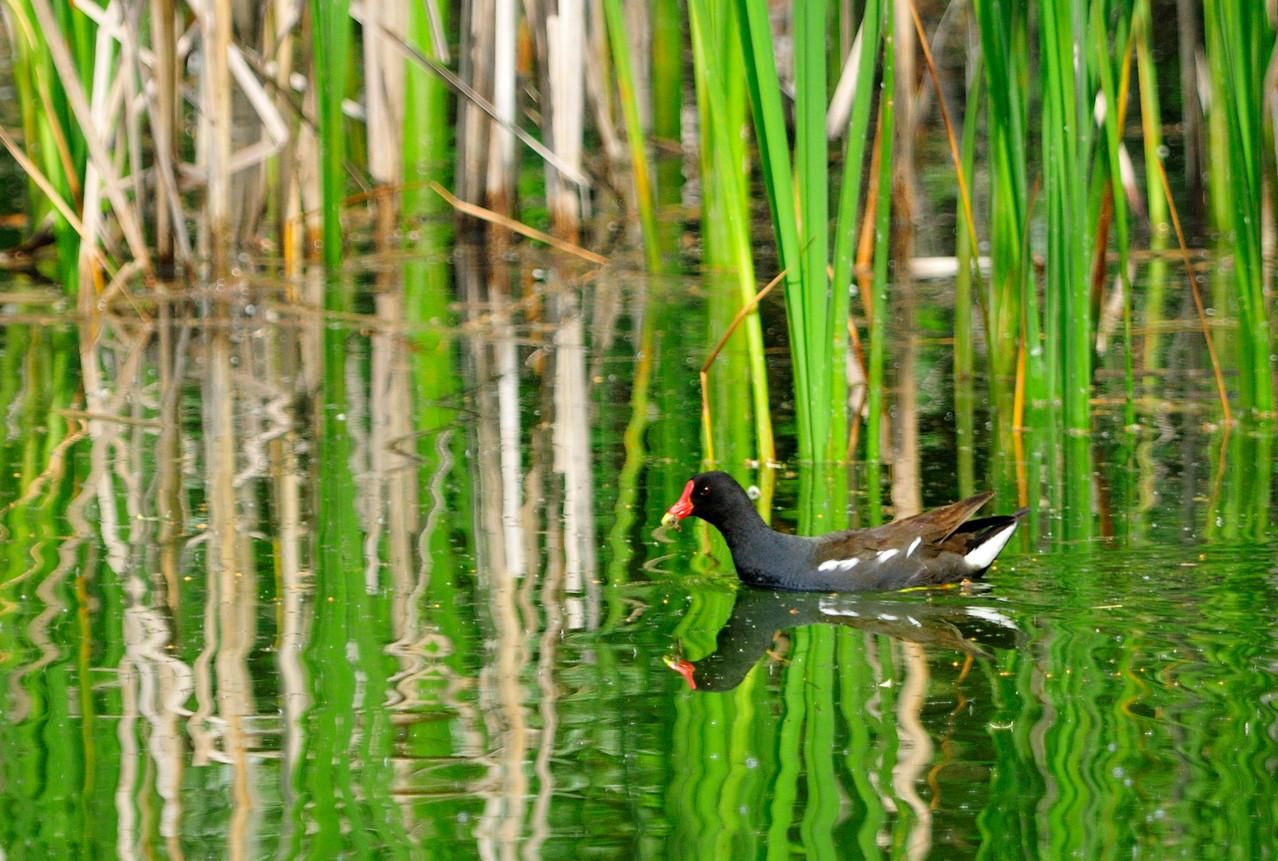 _DSC5815-Gallinule poule-d'eau-Gallinula chloropus - Common Moorhen