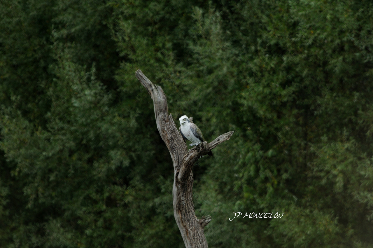 DSC_1022-Balbuzard pêcheur-Pandion haliaetus - Western Osprey