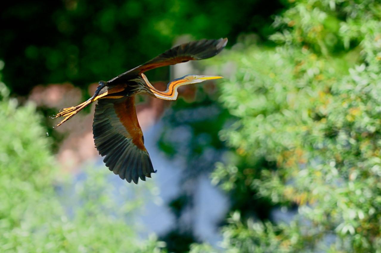 _DSC5702-Héron pourpré-Ardea purpurea - Purple Heron