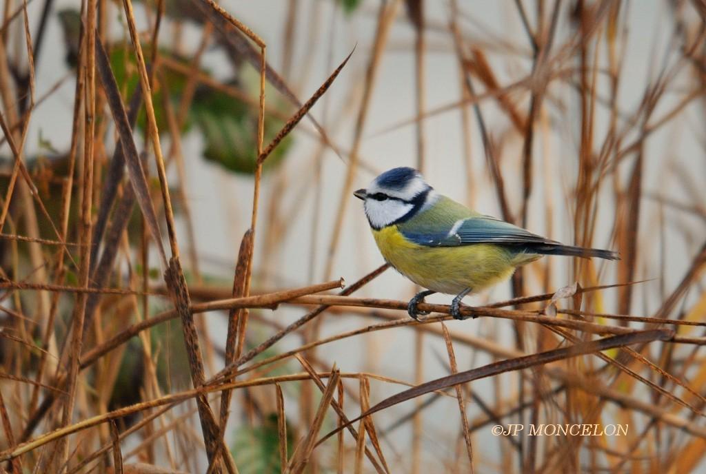 _DSC9924-Mésange bleue-Cyanistes caeruleus
