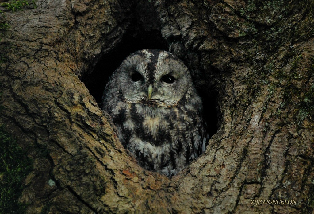 _DSC8631-Chouette hulotte-Strix aluco - Tawny Owl