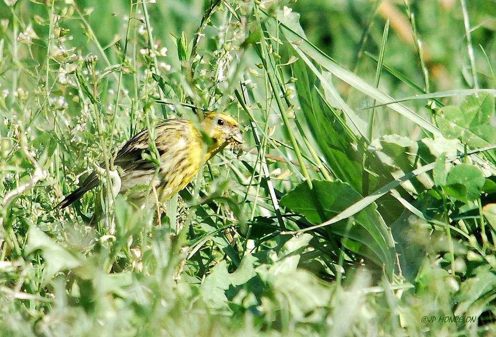 DSC_3722-Bruant jaune