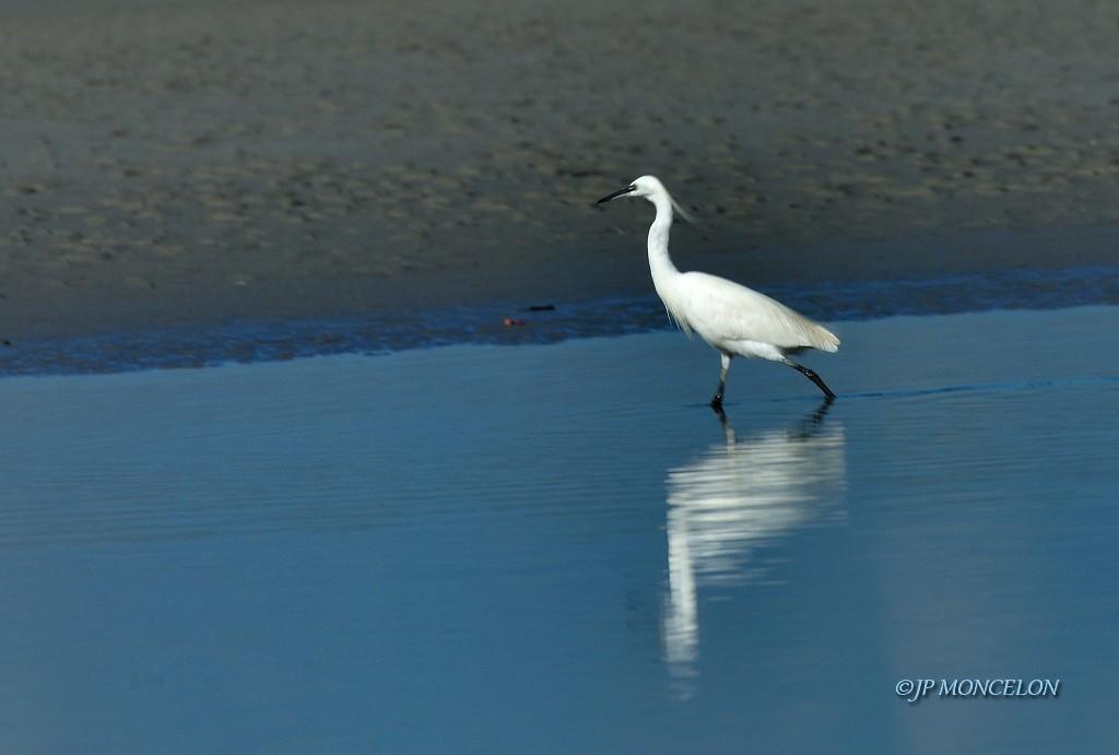 _DSC6613_Aigrette garzette-Egretta garzetta - Little Egret